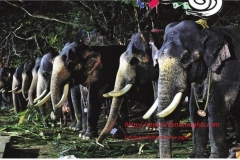 Elephants at Paramekavu at Pooram fortnight